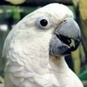oliver the cockatoo2